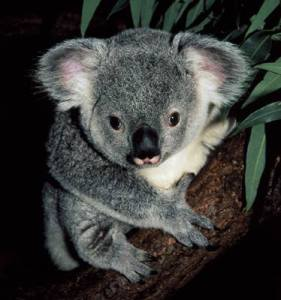 cerita rakyat dari australia 2