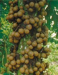 buah kepel