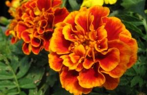 bunga-marigold